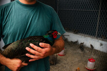 Man's Holds In His Hands A Male Romanian Pheasant. Agriculture, Domestic Poultry, Pheasant Farm, Poultry Farm.