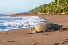 Green Sea Turtle Nesting In Tortuguero Beach, Costa Rica