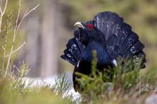 Western Grouse (Tetrao Urogall...