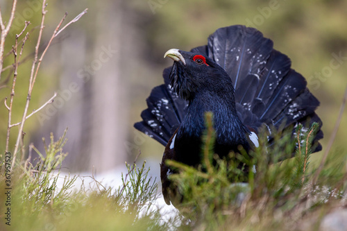 Fotografie, Obraz Western grouse (Tetrao urogallus) sings its spring song in a blueberry forest