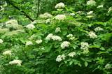 bialy kwiaty na krzewie