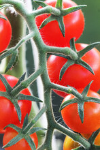 Bunch Of Ripe Natural Cherry Red Tomatoes Growing In A Greenhouse Ready To Pick