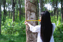 Female Botanists In White Coat At The Forest.Young Asian Scientist Woman Looking At The Bark Of The Rubber Tree And Measure The Trunk Size By Using A Tape Measure Researches Rubber Latex Development