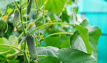 Homemade Cucumbers Grow On Stems. Selective Focus.