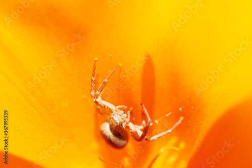 Valokuva Anyphaena accentuata - buzzing spider crawling inside on yellow petals of Californian poppy known as a Californian sunlight