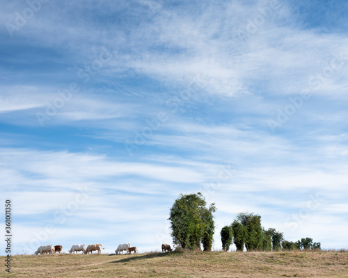 white cows in rural landscape of nord pas de calais in france Poster Mural XXL