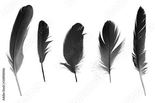 Vászonkép black feather isolated on white background