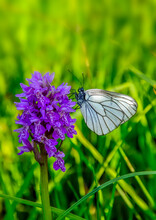 White Butterfly Aporia Crataegi On Purple Dactylorhiza Majalis Flower, Also Known As Western Marsh Orchid, Broad-leaved Marsh Orchid, Fan Orchid Or Common Marsh, Growing In Western Siberia, Russia