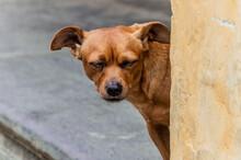 A Scrappy But Happy Street Dog Peeking Around A Corner In Hoi An, Central Vietnam