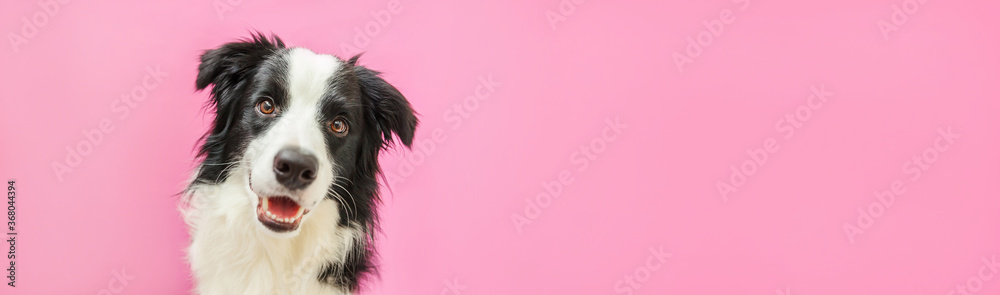 Funny studio portrait of cute smiling puppy dog border collie isolated on pink background. New lovely member of family little dog gazing and waiting for reward. Pet care and animals concept Banner