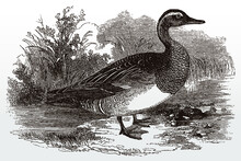 Male Garganey, Spatula Querquedula Standing On The Shore Of A Lake, After Antique Illustration From The 19th Century
