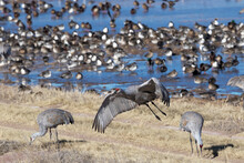 Mixed Feeding Flocks Of Northern Pintails And Sandhill Cranes Overwinter In New Mexico At Bosque Del Apache Wildlife Refuge
