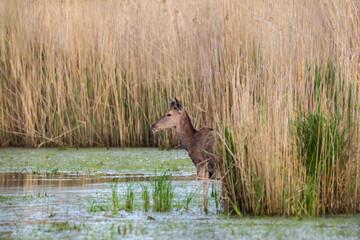 Piękny młody samiec jelenia Cervus elaphus elaphus, ostoja zwierzyny, miejsce bytowania dużych zwierząt kopytnych
