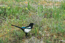 Eurasian Magpie (Pica Pica) In Caucasus, Republic Of Dagestan, Russia