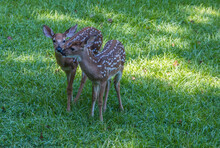 Twin Whitetail Deer Fawns Together Closeup