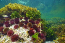 Group Of Purple Sea Urchins With Algae Underwater, Atlantic Ocean, Galicia, Spain, Pontevedra
