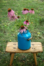 Echinacea Flowers In A Blue Vintage Can In A Garden