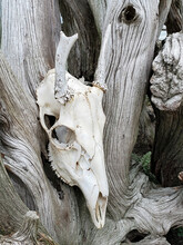 Close Up Of Bleached Deer Skul...