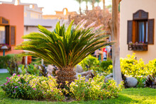 Small Green Palm Tree Surrounded With Bright Blooming Flowers Growing On Grass Covered Lawn In Tropic Yard.