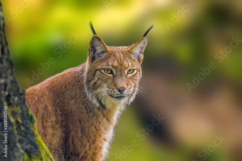 a wild lynx is hiding in the forest Fototapeta
