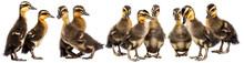 Ducklings ( Indian Runner Duc...