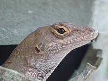 Brown Anole Lizard Closeup