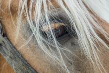 Closeup Shot Of Haflinger's Eye With A White Horsehair