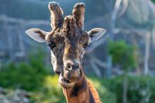 Rothschild's Giraffe - Giraffa...