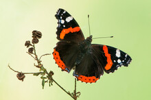 Butterfly Vanessa Atalanta,  The Red Admirable  Sits On A Blade Of Grass In The Meadow Before Sunset