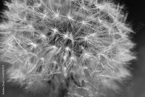 Fototapety, obrazy: Grayscale shot of white dandelion