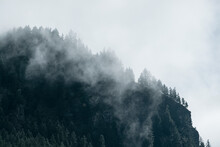 Fog In The Pine Forest In  Mor...