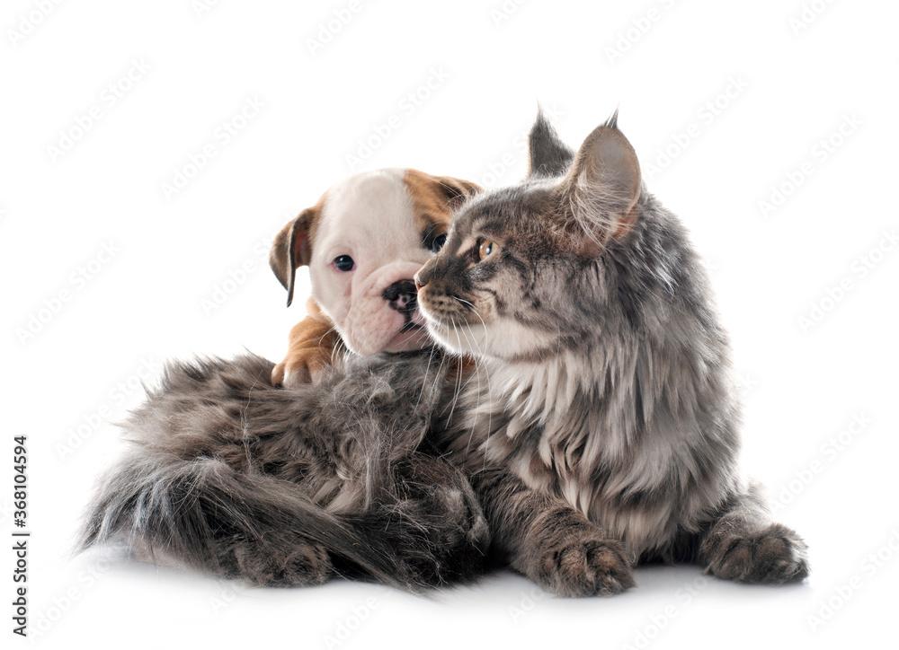 puppy english bulldog and cat