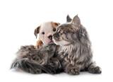 Fototapeta Kawa jest smaczna - puppy english bulldog and cat