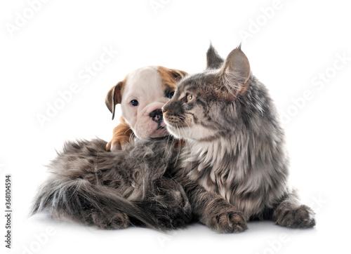 Obraz puppy english bulldog and cat - fototapety do salonu