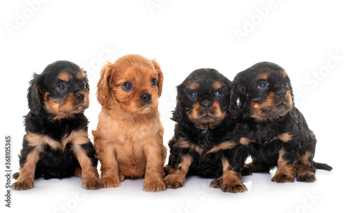 puppies cavalier king charles Fototapet