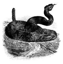 Rattlesnake, Vintage Illustrat...