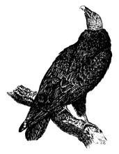 Turkey Vulture, Vintage Illustration.