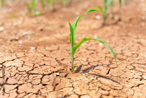 Fotografie, Obraz Corn crops suffer as drought continues