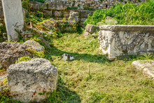 A Gray And White Greek Cat Sticking His Head In The Ground Looking For Something To Eat Or Play With In The Roman Agora Ruins At Athens Greece