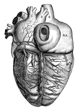 Posterior View Of The Heart, V...