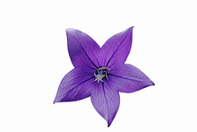 Balloon Flower Of Violet Color On A White Background Close-up