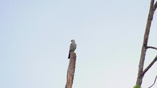 Mississippi Kite Bird Perched On A Dead Tree With Clear Sky Background