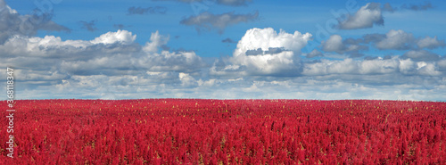 Photo Wide panorama of amaranth red plants field under cloudy blue sky
