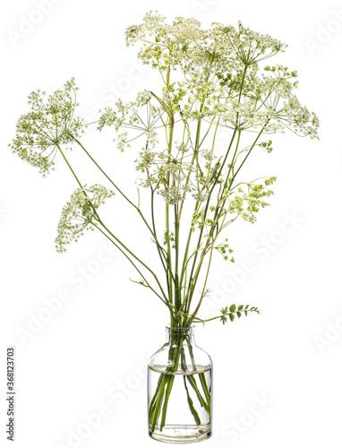 Fotografie, Obraz Conium maculatum ( hemlock or poison hemlock) in a glass vessel on a white backg