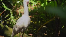 This Video Shows A White African Spoonbill Tropical Bird Cleaning And Preening Itself In A Jungle Landscape.