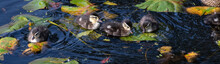 Wood Duck Family Swimming In Lake Washington Among Lily Pads