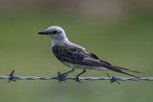 Juvenile Scissor-Tailed Flycat...