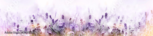 Fototapeta Lavender in flower field wide panoramic view obraz