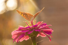 Butterfly Painted Lady Or Painted Lady On A Pink Flower In Sunlight. Macrophotography Of Wildlife. The Butterfly Pollinates The Flowers Of Majora. Evening Bright Ray Of Sun.