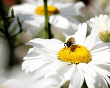 Bee Sitting On A Flower. The Bee Pollinates Chamomile. Bee On The Daisies